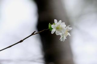 j-sakura-yoko-4.JPG