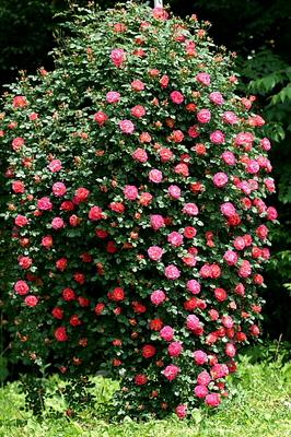 3薔薇仕立て.JPG