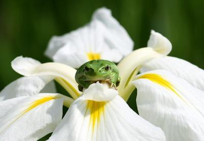 カエルと花菖蒲.jpg