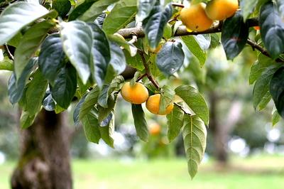 柿のタ.jpg