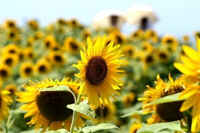 向日葵と日傘.jpg