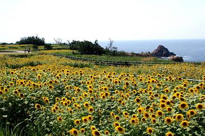 向日葵畑.jpg