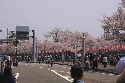 sakura-h-yoko-1.JPG