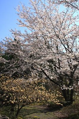 sakura-mitumata-tate-1.JPG