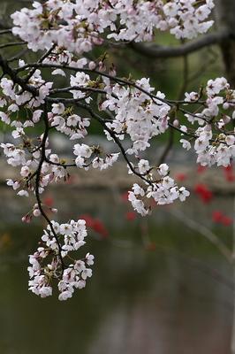 tokimori-sakura-1.jpg