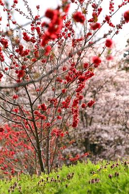 tokimori-sakura.hanamomo-1.jpg