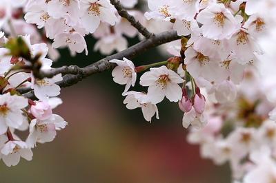 tokimori-sakura-yoko-1.jpg