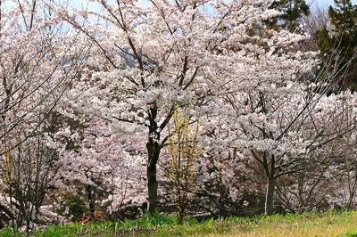 tokimori-sakura-yoko-2.jpg